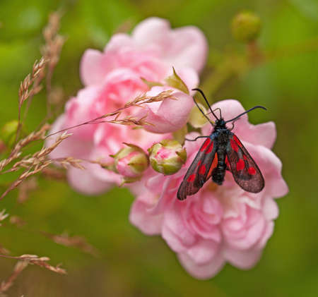 zygaena: Zygaena, A red and black butterfly on pink roses.