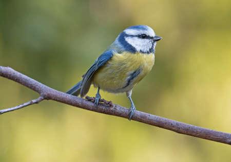 blue tit: M�sange bleue sur la branche Banque d'images