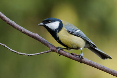 parus major: Parus major, Great tit