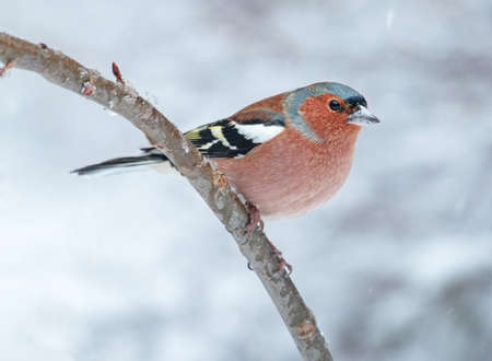 chaffinch: Common chaffinch, Stock Photo