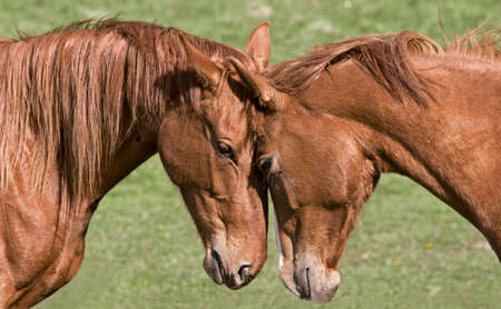 congenial: Two beautiful horses greet each other