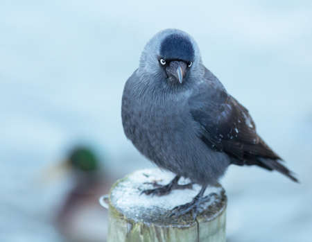 jackdaw: Jackdaw sitting on pole