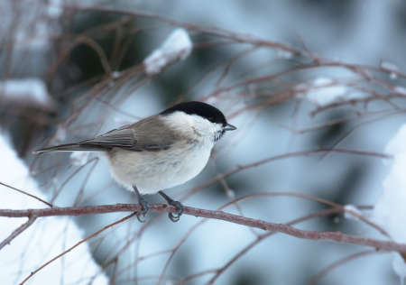poecile palustris: March tit  sitting on a stick on a cold winter day in February Stock Photo
