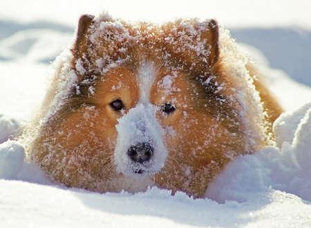 sheepdog: A Shetland Sheepdog playing in deep snow