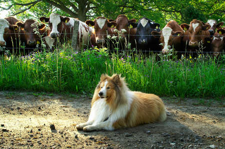 Lying dog on dirt road in the country, guarded by a bunch of cows