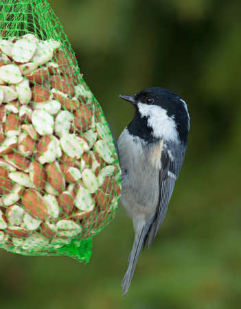 spirited: Coal Tit eating bird food on a snowy winter day. Stock Photo