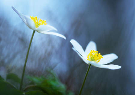 gray anemone: Wood anemone, a beautiful spring flower
