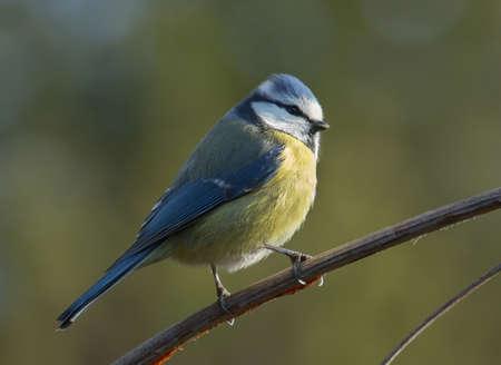 blue tit: M�sange bleue Banque d'images