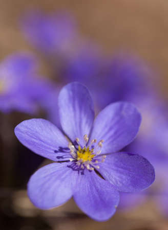 hepatica: Anemone hepatica, a small beautiful blue springflower Stock Photo