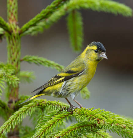 named: A small finch named Siskin Stock Photo