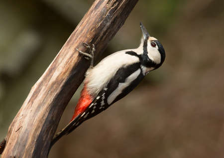 woodpecker: Great spotted woodpecker, female.