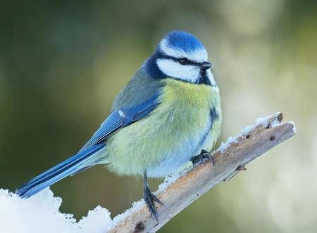 blue tit: Blue tit on branch