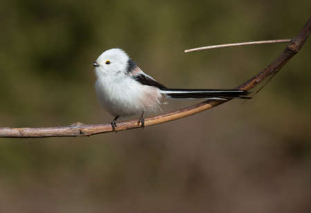 tailed: A little sweet tailed Tit on a branch Stock Photo