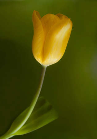 a lonely beautiful yellow tulips photo