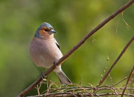 chaffinch: Common chaffinch