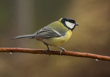great tit: Parus major, Great tit
