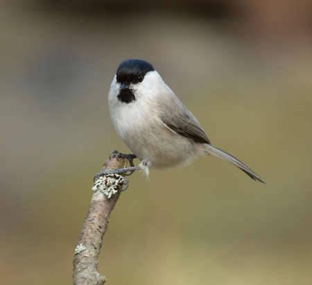poecile palustris: Marsh tit, Poecile palustris Stock Photo
