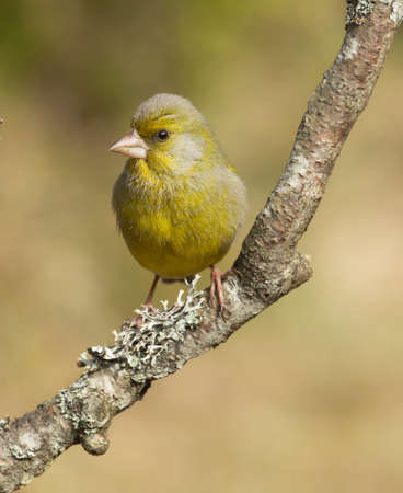 greenfinch: European greenfinch