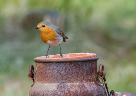 erithacus: Robin, A sweet and very popular little bird.