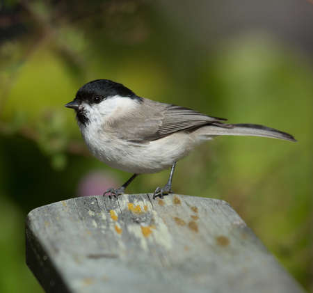poecile palustris: Marsh tit visiting garden. Stock Photo