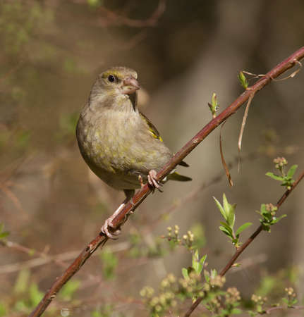 greenfinch: European greenfinch