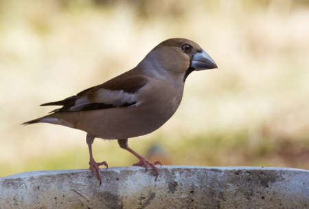 timid: Hawfinch in the garden Stock Photo