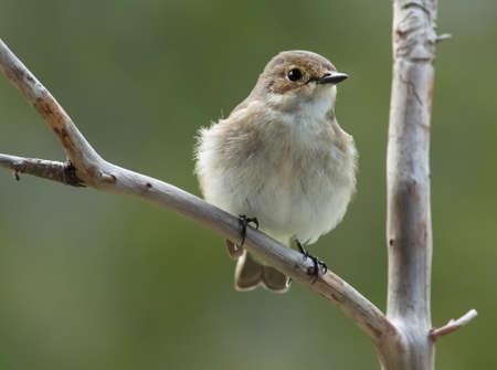 pied: European pied flycatcher, female