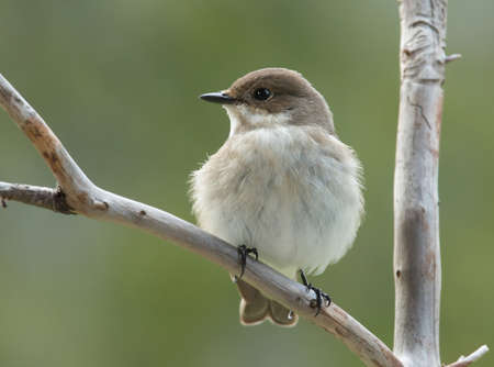 pied: European pied flycatcher, female.