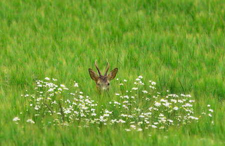 invisible: Deer think its invisible when hiding behind the flowers.