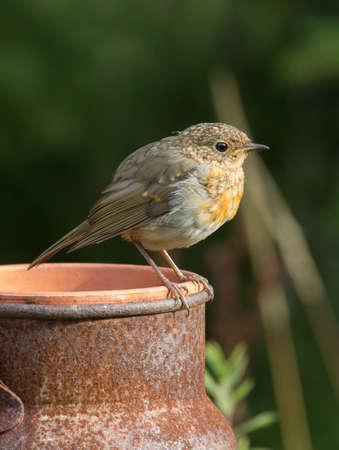erithacus: Robin, A sweet and very popular little bird. (erithacus rubecula).