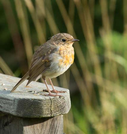 erithacus rubecula: Robin, A sweet and very popular little bird. (erithacus rubecula).