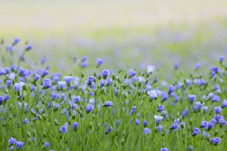 Arable Field with beautiful flax flowers.