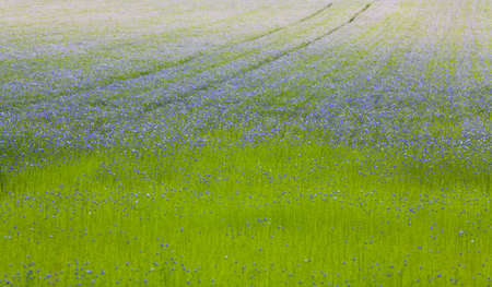 common flax: Arable Field with beautiful flax flowers.