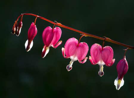 bleeding heart: Lamprocapnos, bleeding heart,
