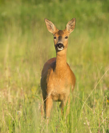watchful: A beautiful watchful deer standing in the field. Stock Photo
