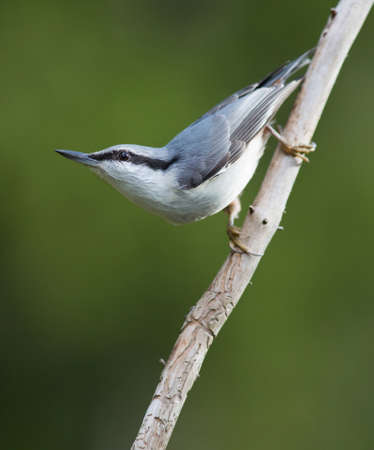 eurasian: Eurasian nuthatch sitting on a stick.