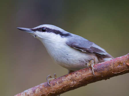 spirited: Nuthatch with tick on the neck