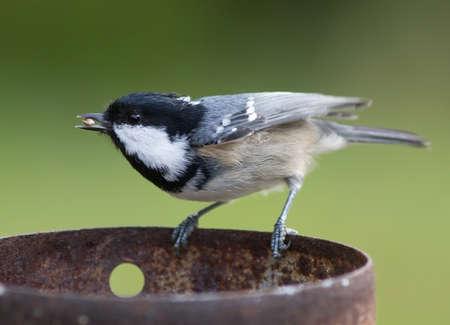 spirited: Coal Tit eating bird food