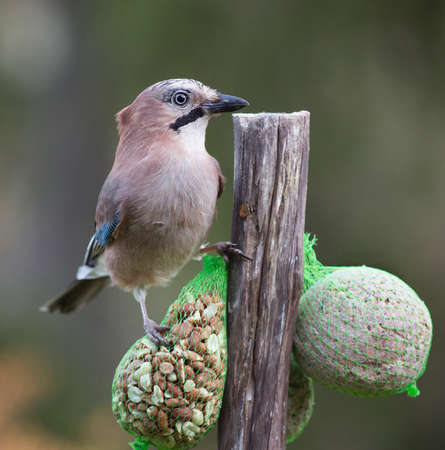 glandarius: Eurasian jay (Garrulus glandarius). A beautiful very watchful medium sized bird Stock Photo