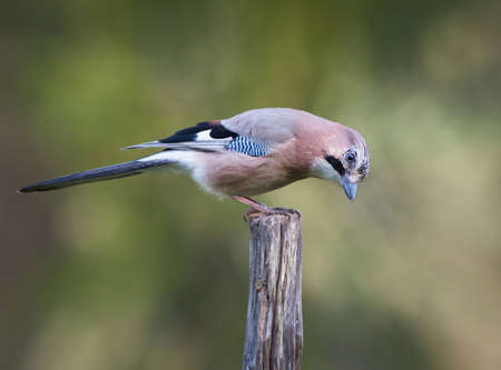 glandarius: Eurasian jay (Garrulus glandarius). A beautiful very watchful medium sized bird Seated on a pole