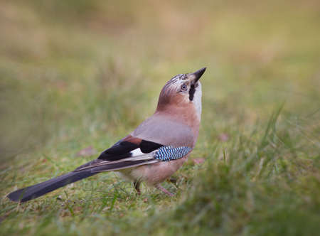 garrulus: Eurasian jay (Garrulus glandarius). A beautiful very watchful medium sized bird Stock Photo