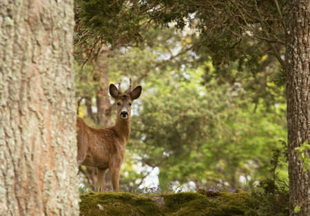 curiously: A deer curiously looking at photographer