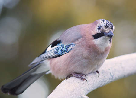 watchful: Eurasian jay (Garrulus glandarius). A beautiful very watchful medium sized bird, sitting on a frosty branch in the woods.