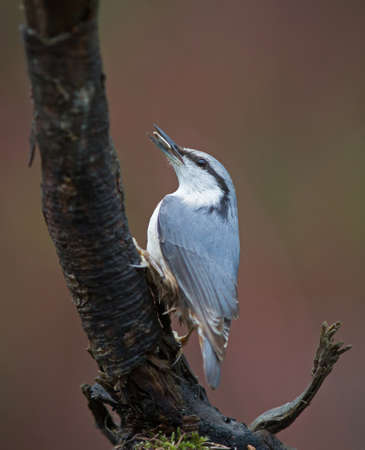 beak: Eurasian nuthatch. Nuthatch with nut in beak.