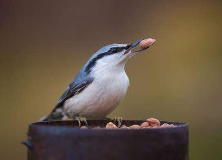 spirited: Eurasian nuthatch.Nuthatch with nut in beak.