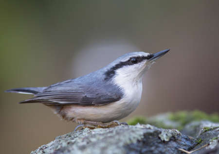 spirited: Nuthatch sitting on a small stone