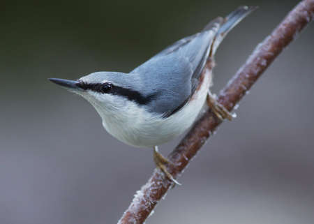 spirited: Nuthatch on a small branch Stock Photo