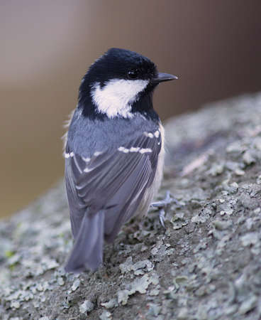 stone cold: Coal Tit sitting on a stone on a cold winter day