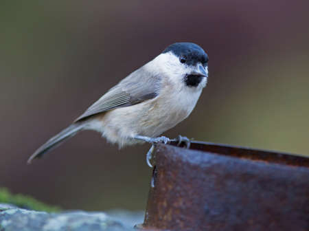 poecile palustris: Marsh tit, Poecile palustris,