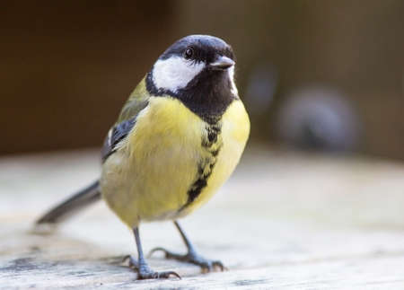 parus major: Parus major, Great tit male.